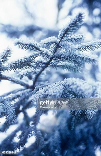 Pine / Fir / Spruce Picea variety not identified