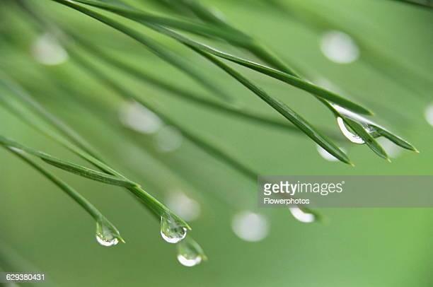 Pine / Fir / Spruce, Pinus / Abies / Picea, variety not identified.