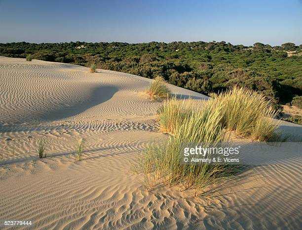 pine forest and sand dunes in spain - alamany fotografías e imágenes de stock