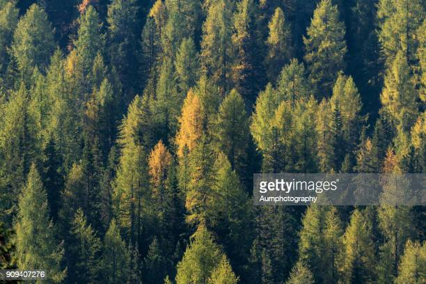 Pine forest at Dolomites