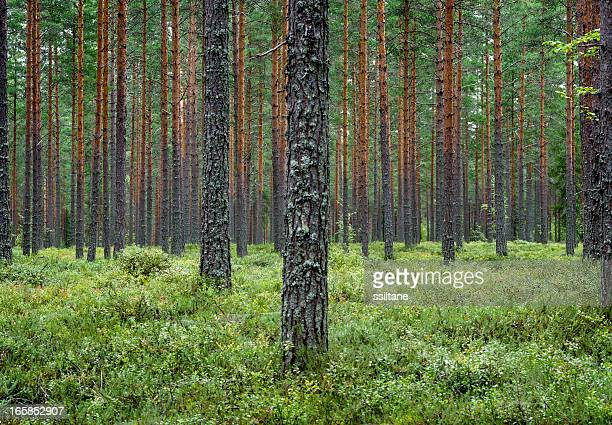 pine forest finland scandinavia - pine woodland stock pictures, royalty-free photos & images