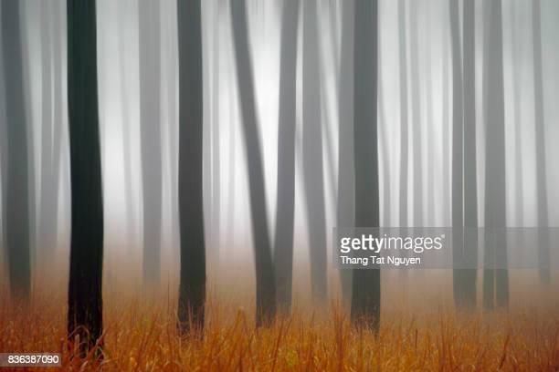 Pine forest in mist - Fine art