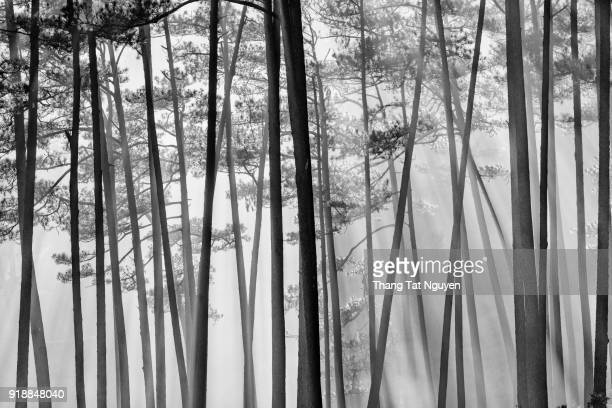 pine forest in mist - grove stock photos and pictures