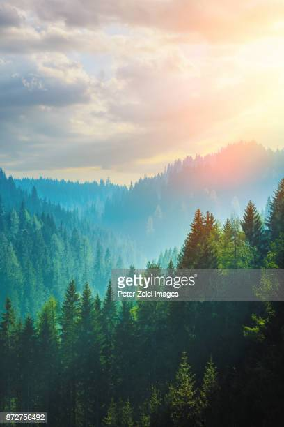 pine forest in the dolomites, italy - mountain range stock pictures, royalty-free photos & images