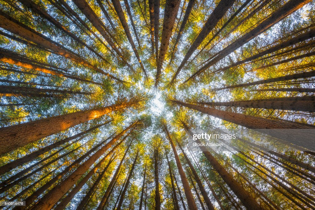 Pine forest on ant view : Stock Photo