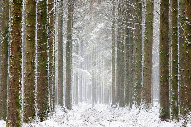 Pine forest on Dartmoor, white with snow after strong winds and heavy falls, Dartmoor, Devon, England, UK