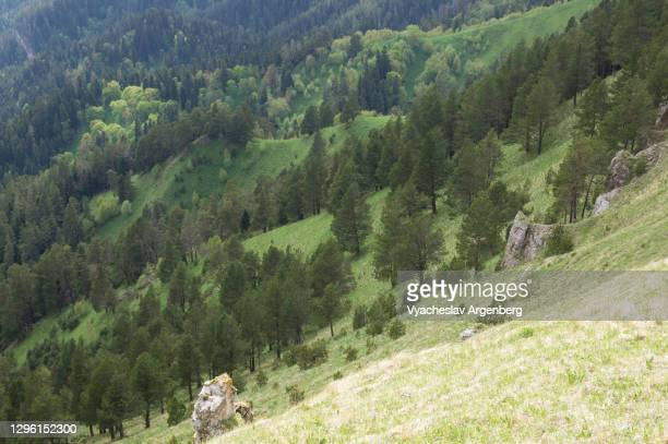 pine forest on the slopes of afonka valley, adygea, western caucasus - argenberg stock pictures, royalty-free photos & images