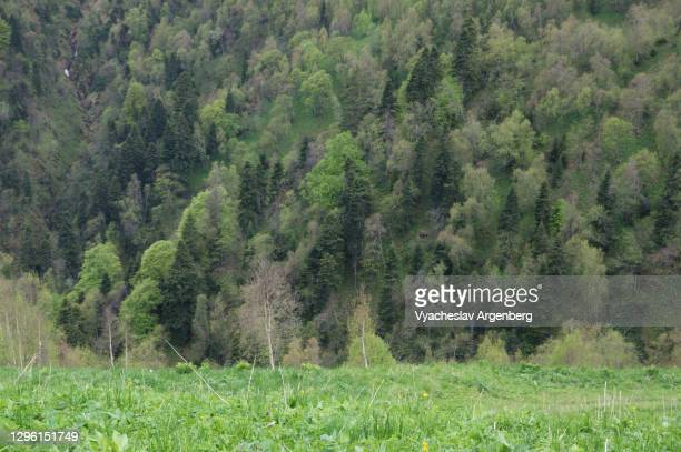 pine forest on the slopes of maly tkhach, adygea, western caucasus - argenberg stock pictures, royalty-free photos & images