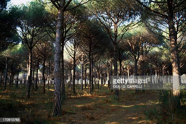 Pine forest, Orbetello Lagoon Nature Reserve, Tuscany, Italy.