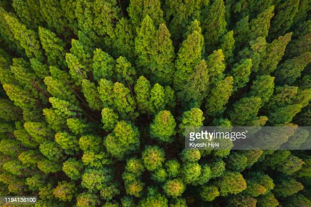 pine forest - treetop stock pictures, royalty-free photos & images