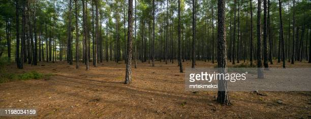 tallskog - barrväxter bildbanksfoton och bilder
