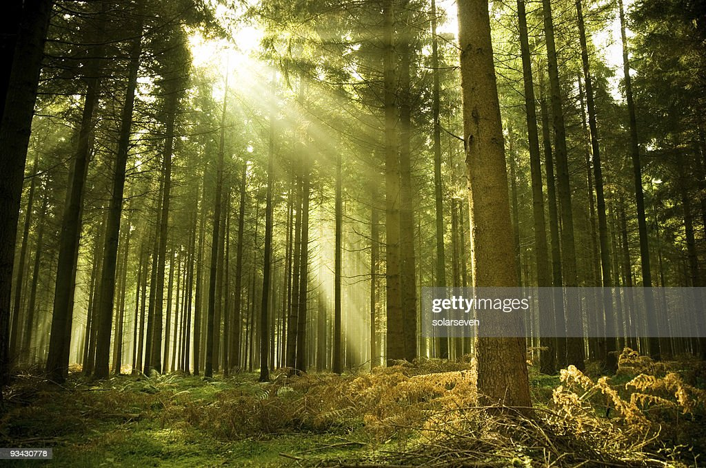 Free pine forest Images Pictures and RoyaltyFree Stock Photos