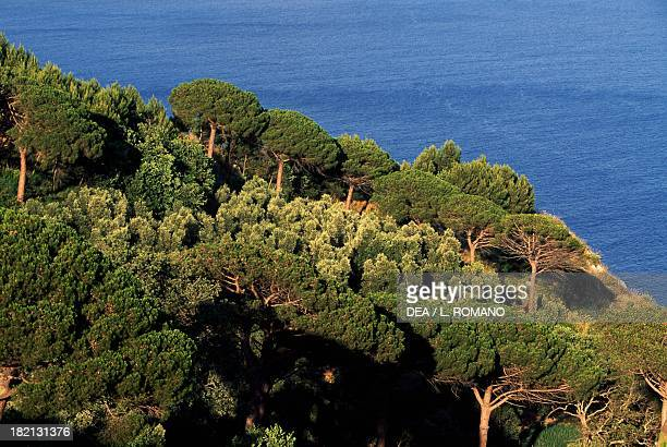 Pine forest Pinaceae Campania Italy