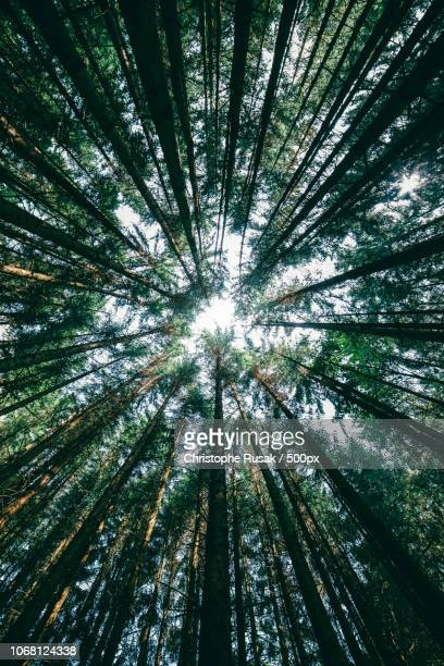 pine forest seen from directly below - pine woodland stock pictures, royalty-free photos & images