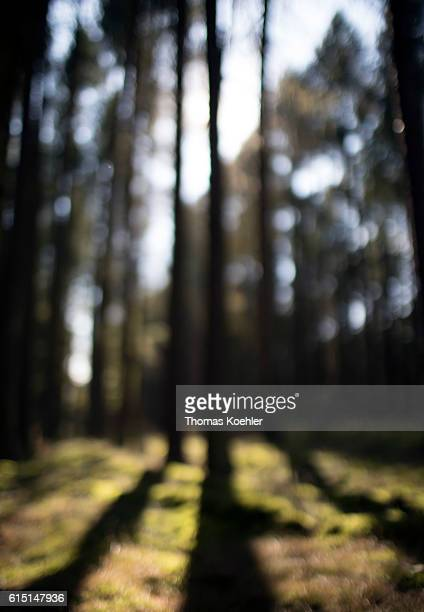 Pine forest with moss in the national park Unteres Odertal on October 02 2016 in Gartz Germany
