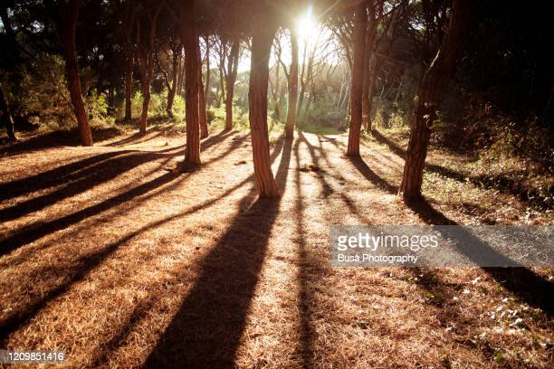 pine forest with sunset - mediterranean sea stock pictures, royalty-free photos & images