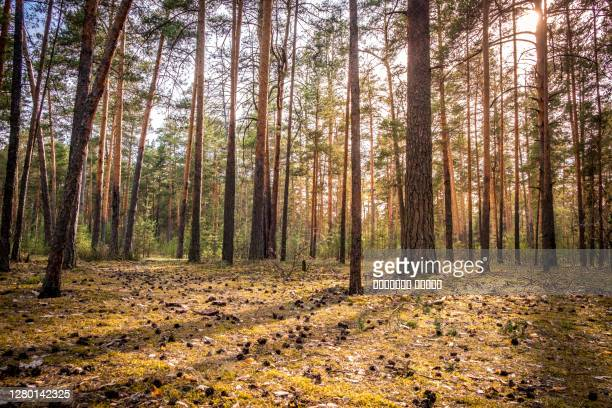 pine forest with the last of the sun shining through the trees. park in russia, vladimir city. - pine woodland stock pictures, royalty-free photos & images