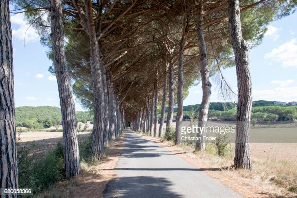 Pine in Tuscany in Italy