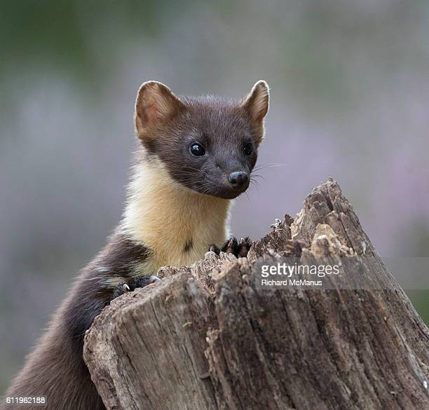 pine marten behind tree stump. - pine marten stock pictures, royalty-free photos & images