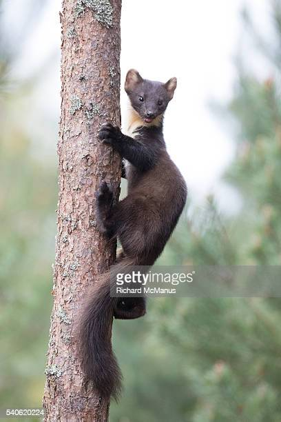 pine marten climbing tree. - pine marten stock pictures, royalty-free photos & images