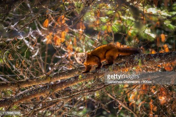 pine marten in his environment - pine marten stock pictures, royalty-free photos & images
