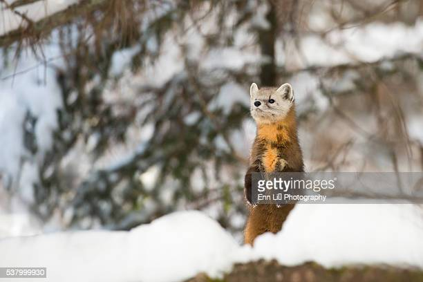 pine marten in winter - pine marten stock pictures, royalty-free photos & images