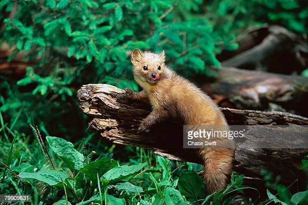 pine marten on a log - pine marten stock pictures, royalty-free photos & images