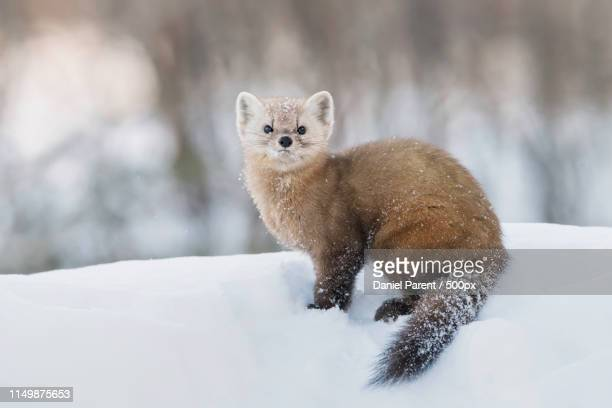 a pine marten pauses - pine marten stock pictures, royalty-free photos & images