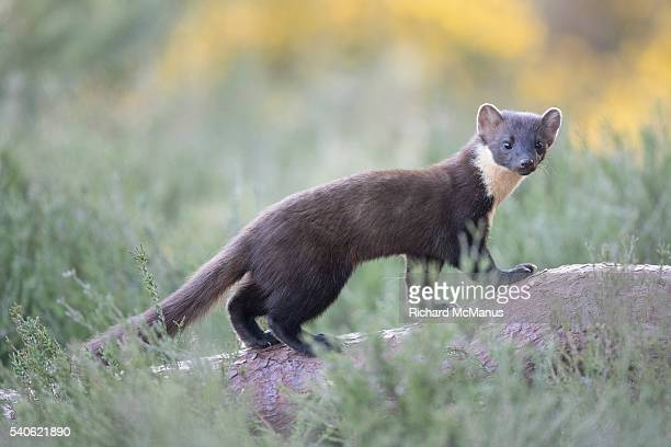pine marten. - pine marten stock pictures, royalty-free photos & images