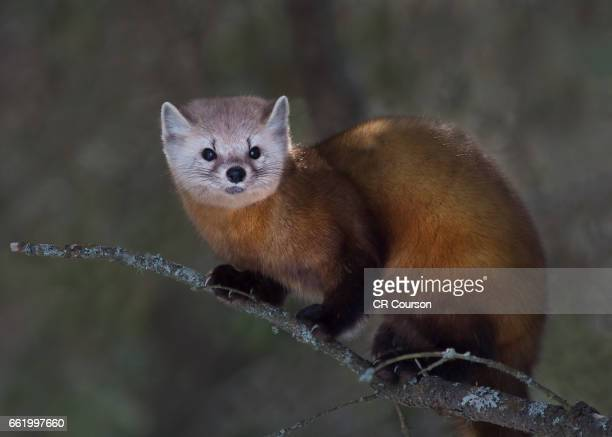 pine marten - pine marten stock pictures, royalty-free photos & images