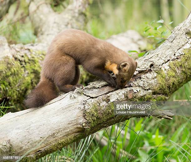 Pine marten searching for food in a log