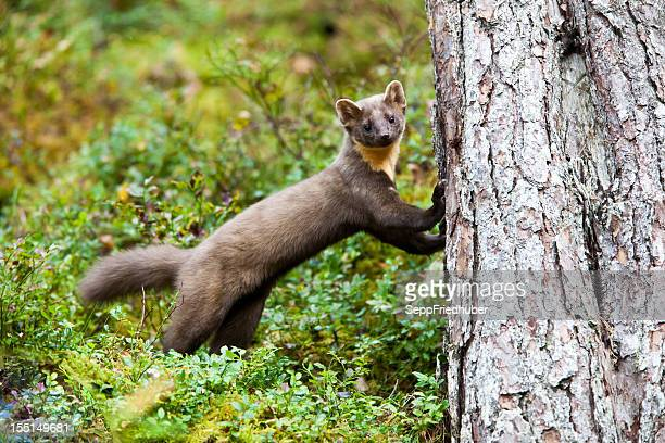 pine marten standing on a trunk - pine marten stock pictures, royalty-free photos & images