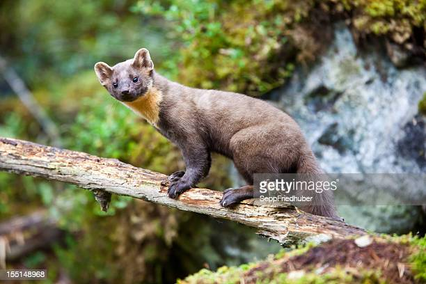 pine marten standing on tree trunk - pine marten stock pictures, royalty-free photos & images
