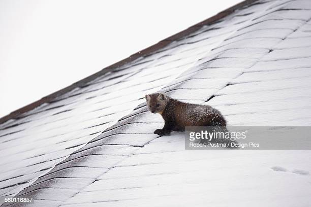 pine marten (martes martes) walking on a snow covered roof - pine marten stock pictures, royalty-free photos & images