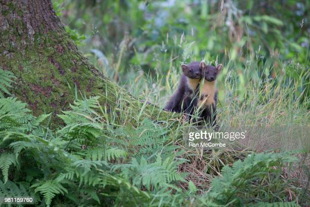 pine martens - pine marten stock pictures, royalty-free photos & images