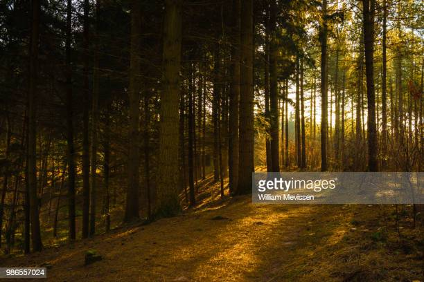 pine needles path - william mevissen foto e immagini stock