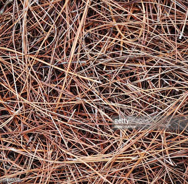 pine needles - needle plant part stock photos and pictures