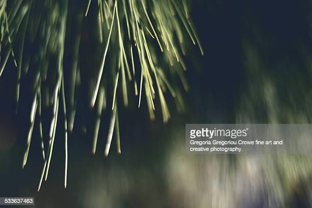 pine needles - gregoria gregoriou crowe fine art and creative photography stockfoto's en -beelden