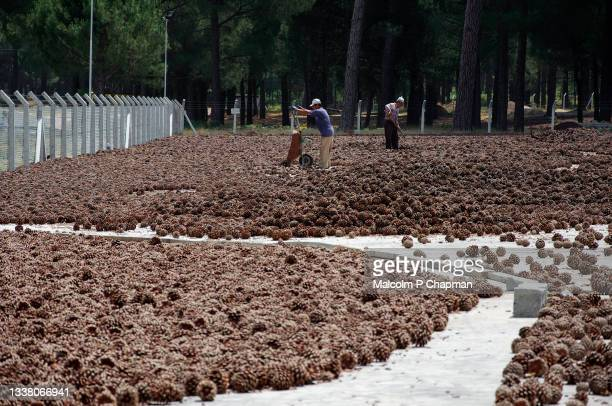 pine nut production near asagicuma, bergama, turkey - pine cones drying - ベルガマ ストックフォトと画像