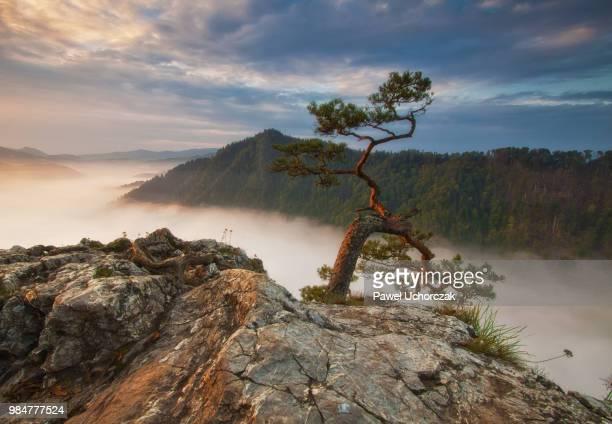 pine - république tchèque photos et images de collection