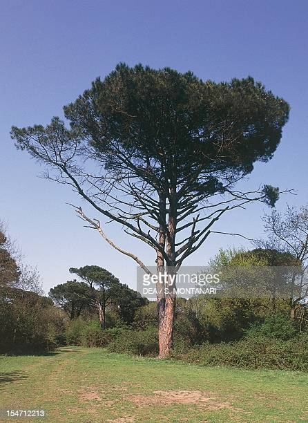 Pine Pinaceae