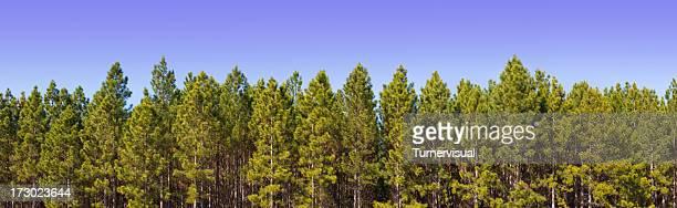 pine plantation panorama xxl - 171 megapixel - plantation stock pictures, royalty-free photos & images