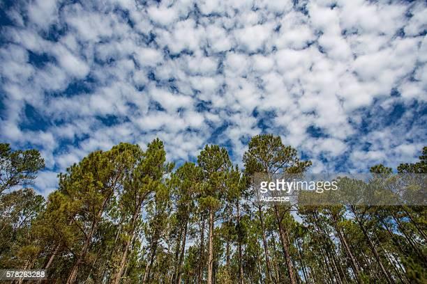 Pine plantation under alto cumulus clouds low angle view Toolara State Forest Sunshine Coast Queensland Australia