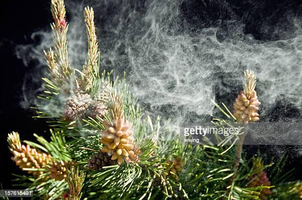Pine Pollen ... Allergies!