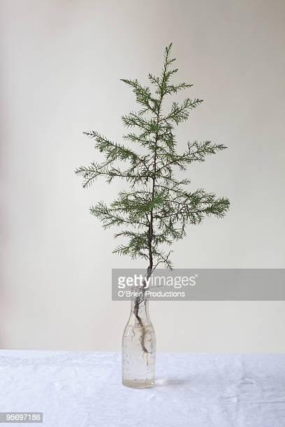 Pine sapling in glass bottle