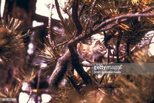 Pine squirrel on a branch plague and tick fever study Estes Park Colorado 1975 Image courtesy Centers for Disease Control
