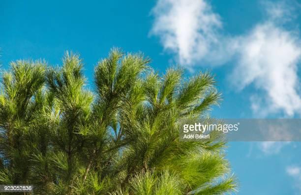 pine tree and blue sky - happy new month - fotografias e filmes do acervo