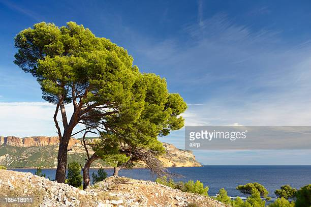 pine tree at french riviera - calanques stock pictures, royalty-free photos & images