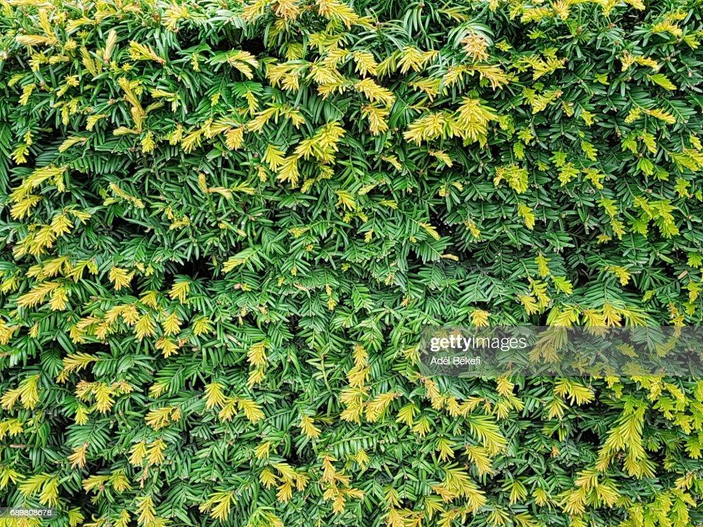 Pine tree background : Stock Photo