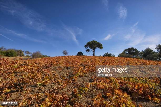 pine tree behind vinyard in autumn(DSCF6667-1.jpg)